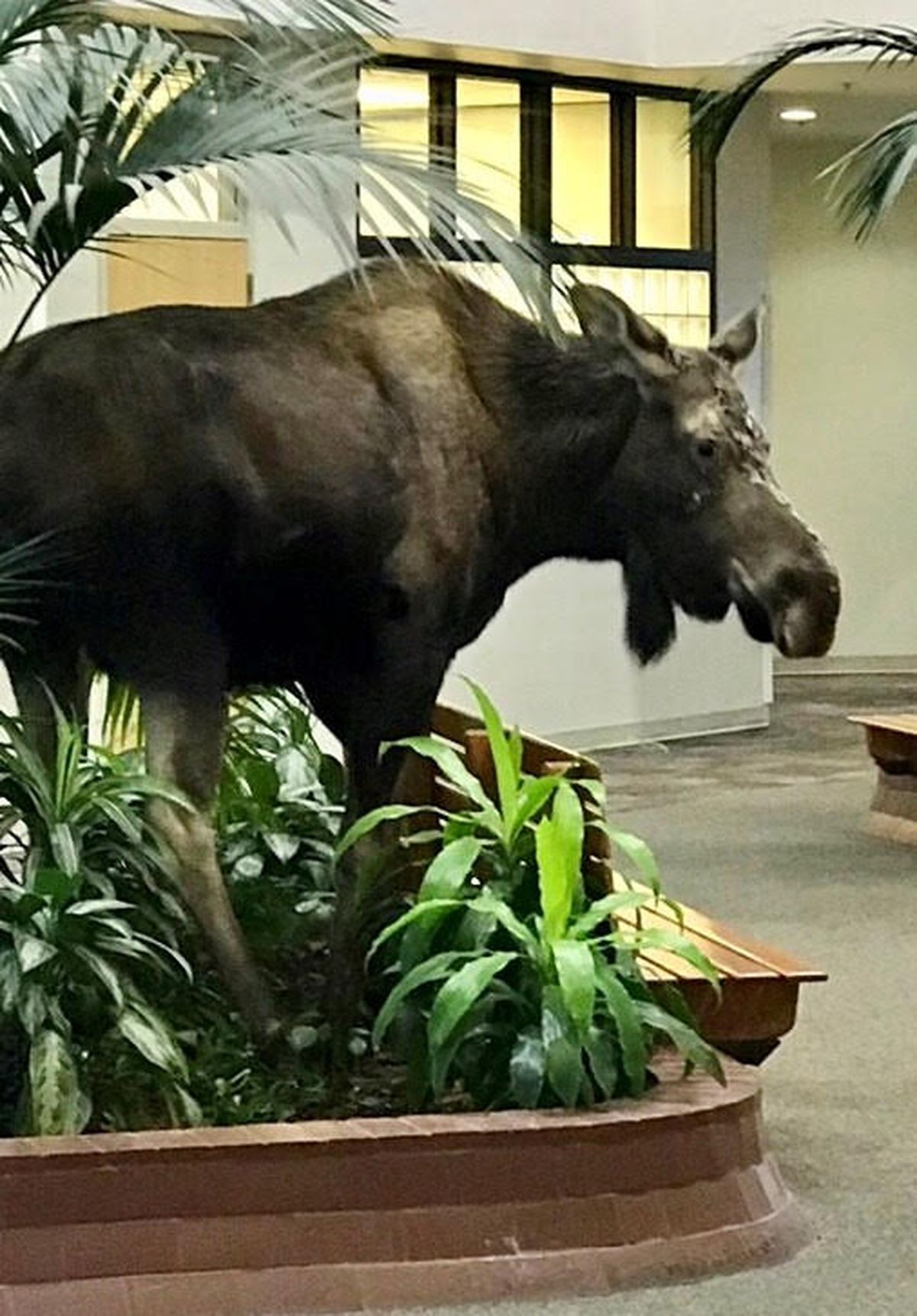 A moose wandered into the atrium of a medical office building at Alaska Regional Hospital on Monday. The animal walked back out the door after eating some plants. (Courtesy Alaska Regional Hospital)
