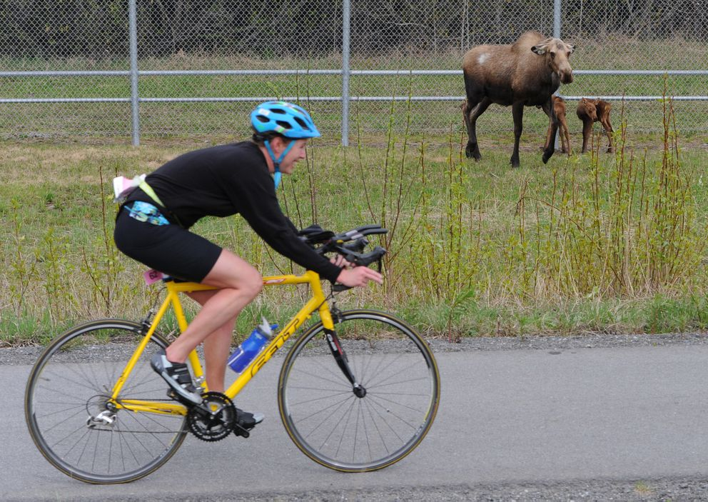 Lia Keller passes  a cow moose protecting her newborn calves along the Glenn Highway during Sunday's race. (Bill Roth / ADN)
