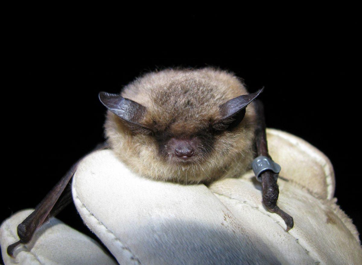 A little brown bat. (Jesika Reimer)