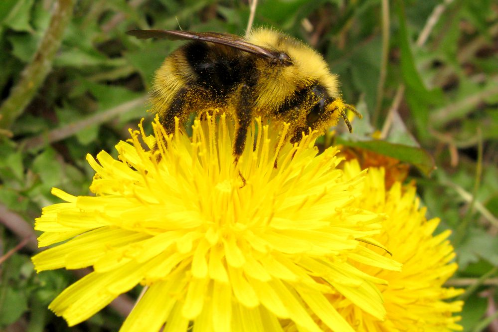 A bumblebee gathers nectar and pollen from a dandelion flower along Turnagain Arm next to the Seward Highway on Tuesday, May 26, 2015. (Bob Hallinen / Alaska Dispatch News)