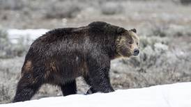 Brown bear mauls bicyclist on Jack River near Cantwell