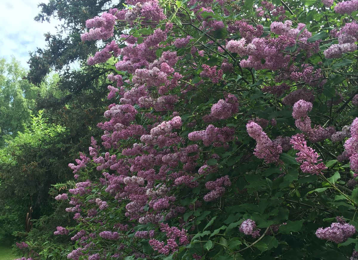 Enjoy second blooms on your lilacs, because there'll be fewer next year. (Jeff Lowenfels)