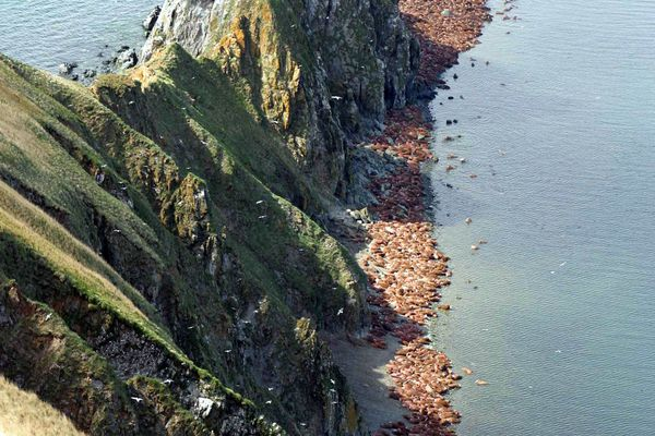 In a 2005 Alaska Department of Fish and Game file photo, hundreds of walruses line the beaches at the Walrus Islands State Game Sanctuary. The Bering Sea island will again be open to visitors after a group of private donors stepped in to provide the needed funding.