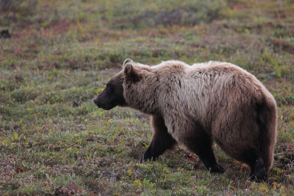 A grizzly bear roams the Brooks Range in August 2015. (Photo by Steve Meyer)