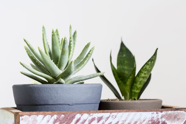 Aloe brevifolia succulent and snake plant. (Getty Images)