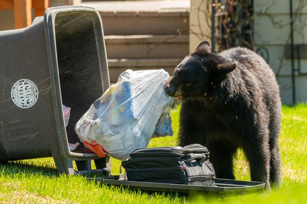A black bear drags a bag of trash out of a garbage can that it had just tipped over on Saturday, May 22, 2021 in West Anchorage. According to neighborhood residents, the bear had been seen getting into trash in the area all day. (Loren Holmes / ADN)