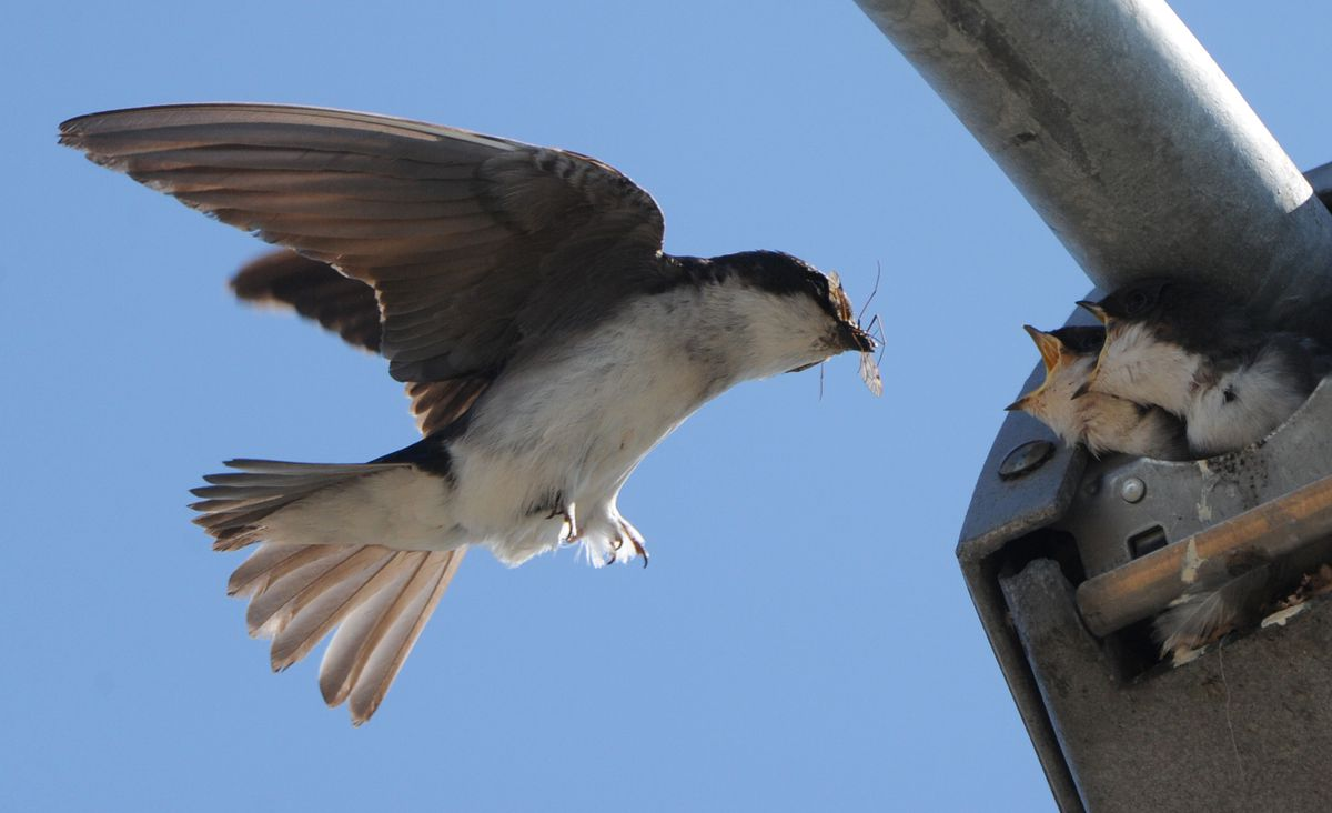 A swallow feeds insects to young ones nesting in the back of a street light in Fairview on Tuesday, July 9, 2013. (Bill Roth / ADN)