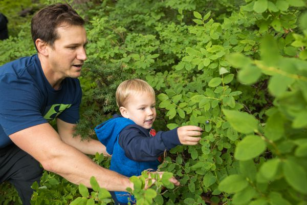 Andy McWhorter and his son Parker, 3 1/2 years old, pick blueberries Saturday at Alyeska Resort. The Blueberry Festival continues Sunday, featuring music, food, crafts and a pie-eating contest. (Loren Holmes / ADN)