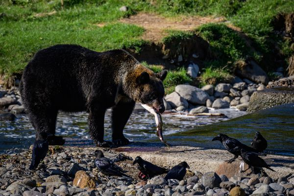 An Ussuri brown bear snaps up a salmon with her cub on the shore near Rausu, Japan, in Hokkaido. (Photo for The Washington Post by Salwan Georges)