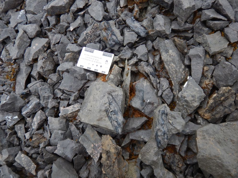 Numerous ichthyosaur bone fragments (bluish-gray) are scattered across the surface of a hilltop near McCarthy. (Pat Druckenmiller)