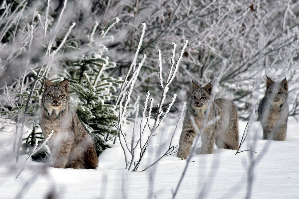 A family of lynx. (Getty Images)
