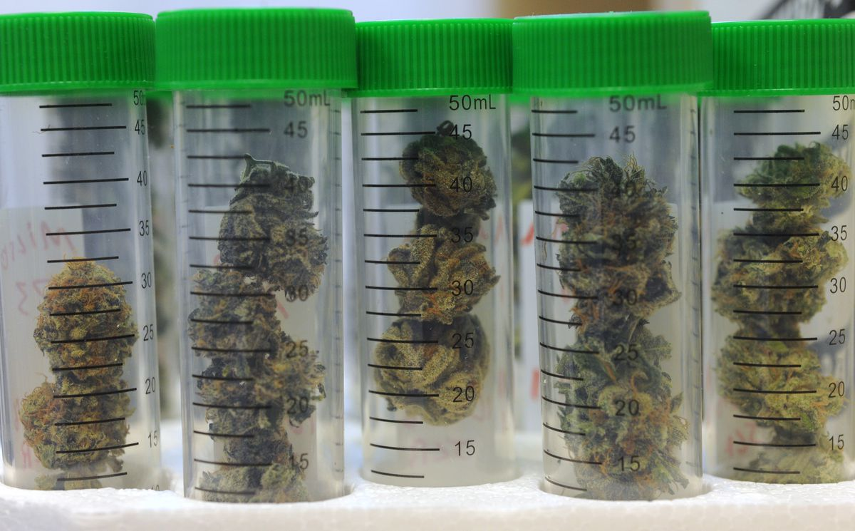 Marijuana samples wait to be tested in this file photo from October 2016. (Bill Roth / ADN archive)