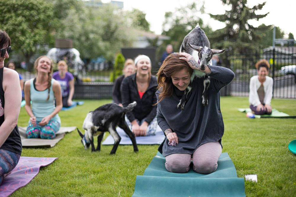 A baby goat jumps on Dana Clare's shoulders before a goat yoga session Thursday, June 6, 2019 at the Inlet Tower Hotel & Suites in downtown Anchorage. The 45-minute session pairs yoga with energetic baby goats. (Loren Holmes / ADN)