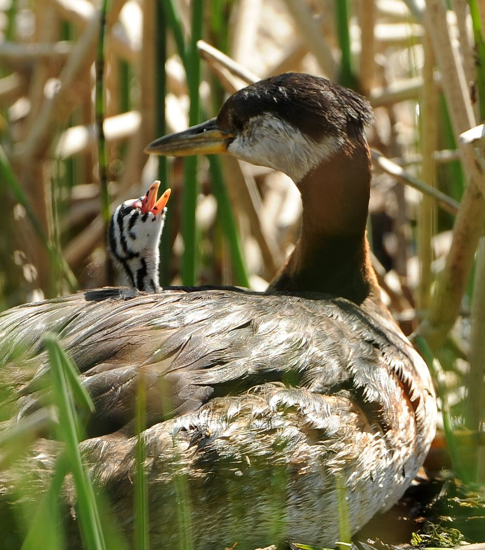 The first red-necked grebe chick to hatch sits on a parent's back on the nest at Cheney Lake. (Bob Hallinen / ADN)