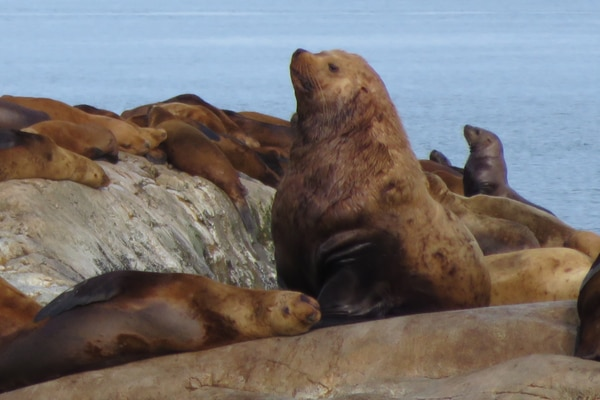 A male Steller sea lion amid others on the coast of Alaska in Southeast. (Photo by Michell Trifari)