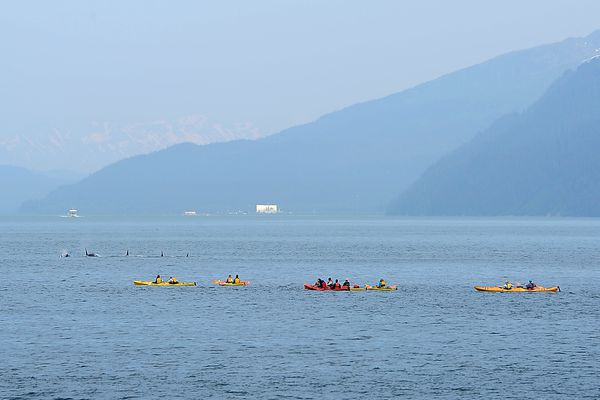 Kenai Fjords Wilderness Lodge guests view passing orcas while paddling with Sunny Cove Sea Kayaking at Fox Island on Tuesday afternoon, June 16, 2015, in Resurrection Bay. (ERIK HILL / ADN archive 2015)