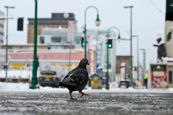 A pigeon walks on 4th Avenue on November 12, 2020. (Marc Lester / ADN)