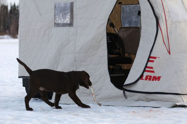 Rigby absconded with one of the rainbow trout Christine Cunningham caught. (Luckily, he retrieved it ... if it counts to retrieve something you stole.) Dec. 25, 2020. (Photo by Steve Meyer)
