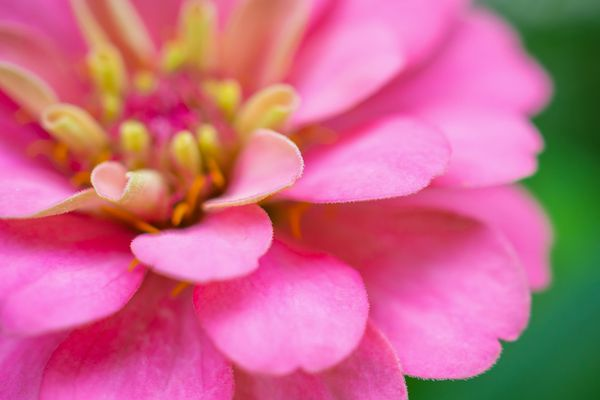 Like dahlias, zinnias come in all sorts of colors, sizes and styles. (Getty Images)