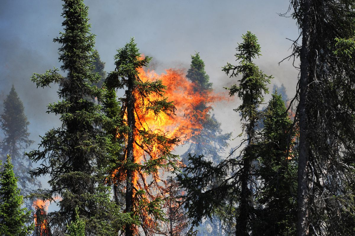 Spruce trees torch in the afternoon heat on Monday, June 15, 2015, in the area where the 1-day-old Sockeye Fire started north of Kashwitna Lake. (Bill Roth / Alaska Dispatch News)