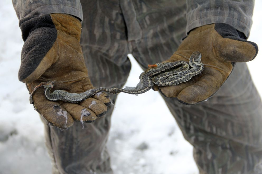 George Pierce, of Kasilof, holds the remains of a common garter snake he found in his yard on Jan. 20, 2014. The snake has a nick on the end of his tail which Pierce assumes occurred while using a snow blower in his yard. Pierce said he has no idea how the snake ended up on his property and had never seen a snake in Alaska. (AP Photo/Peninsula Clarion, Dan Balmer)