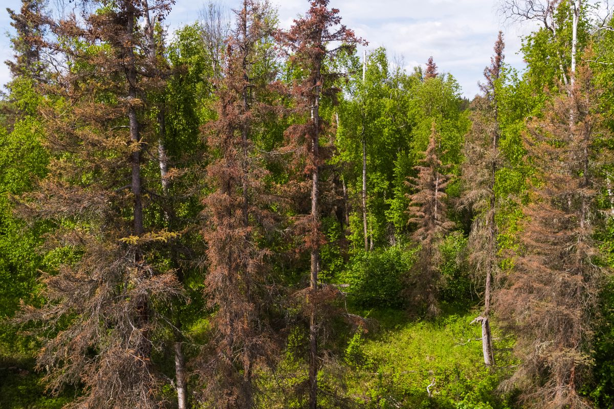 Spruce bark beetle-killed trees stand in the boreal forest along Knik-Goose Bay Road on June 5. (Loren Holmes / ADN)