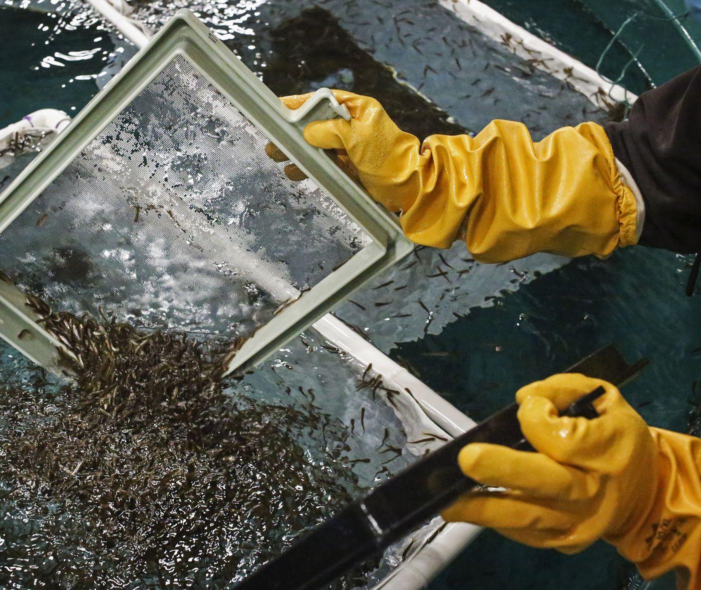 Scott Cunfer transfers trays of salmon fry into net baskets in November. (Emily Mesner / ADN)