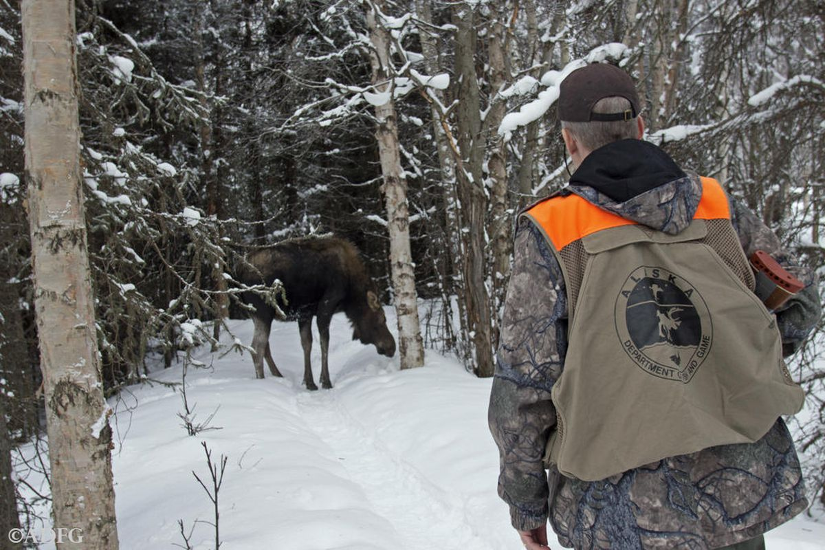 Anchorage area wildlife biologist Dave Battle approaches a moose to be sampled during the 2017 ground-based moose survey pilot study. (ADF&G)