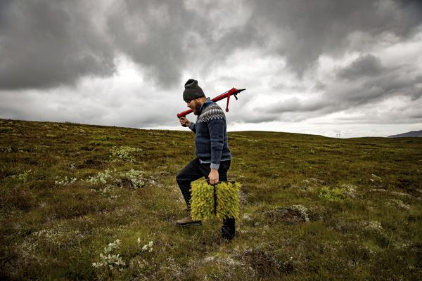 "Jon Asgeir Jonsson, who works for a private forestry association, with larch saplings in western Iceland, Aug. 8, 2017. Jonsson is a foot soldier in the fight to reforest Iceland, working to bring new life to largely barren landscapes. ""It's definitely a struggle,"" Jonsson said. ""We have gained maybe half a percent in the last century."" (Josh Haner/The New York Times)"