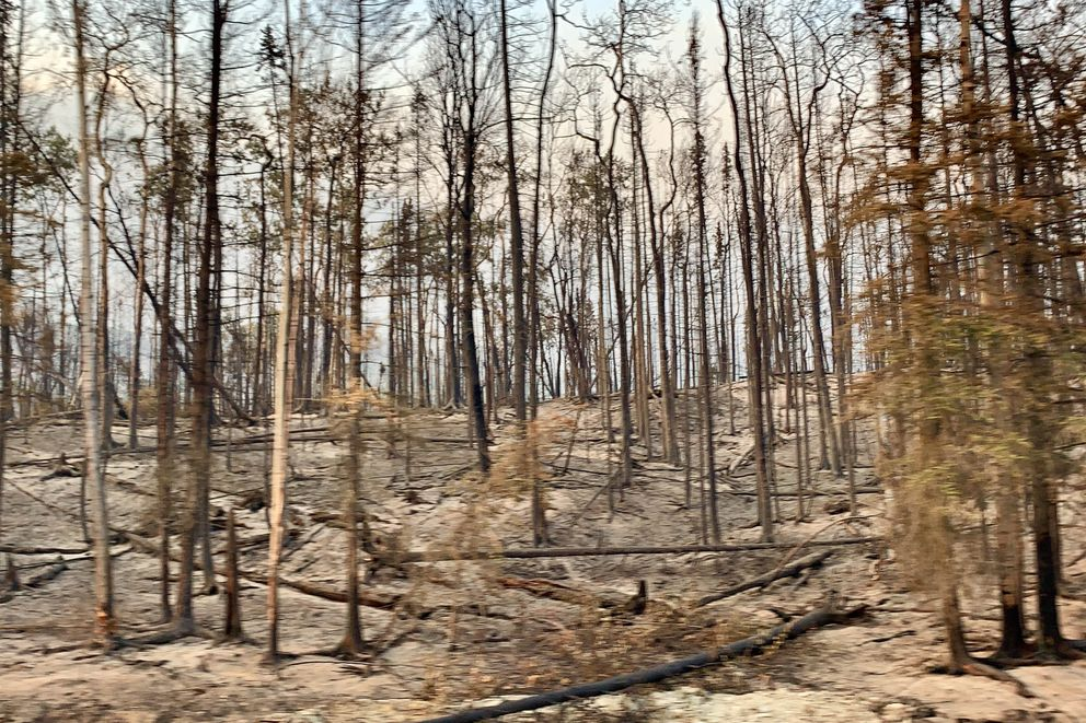 Trees burned by the Swan Lake Fire alongside the Sterling Highway near Cooper Landing, Alaska on Friday, Aug. 23, 2019. (Matt Tunseth / ADN)