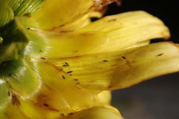 Thrips, photographed here on a dahlia, have been found in large numbers in Southcentral and Southeast this year.