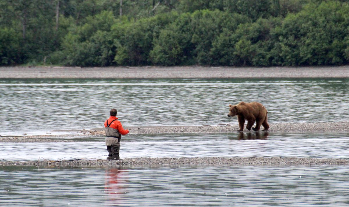 A fisherman and a brown bear cast wary eyes at each other in the lower Brooks River on July 18, 2017, in Katmai National Park. (Tegan Hanlon / Alaska Dispatch News)