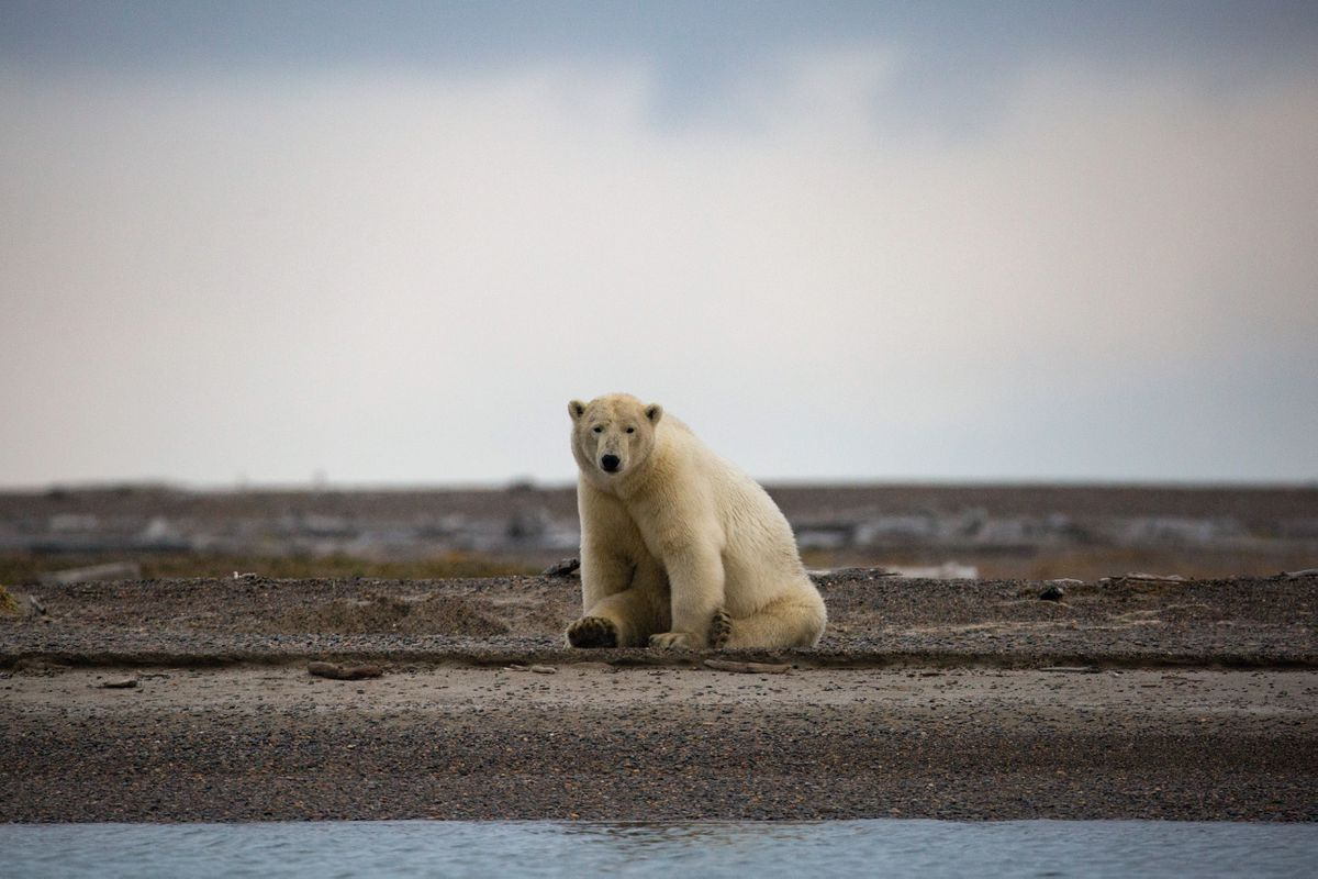 A polar bear near Kaktovik, Alaska, Sept. 6, 2016. Despite overwhelming scientific evidence that the Arctic is warming twice as fast as the rest of the planet, some climate denialists are using polar bears' fearsome reputation to help paint a misleading picture of their endangered habitat. (Josh Haner / The New York Times file)