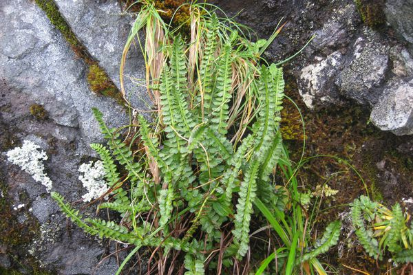 The Aleutian shield fern is a rare plant and known only to grow on Adak Island. Photographed Sept. 17, 2010. (US Fish and Wildlife Service)