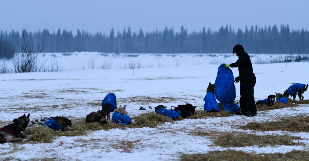 Rookie musher Ryan Santiago puts straw down for his team in Nikolai during the Iditarod Trail Sled Dog Race on March 6, 2019. (Marc Lester / ADN)