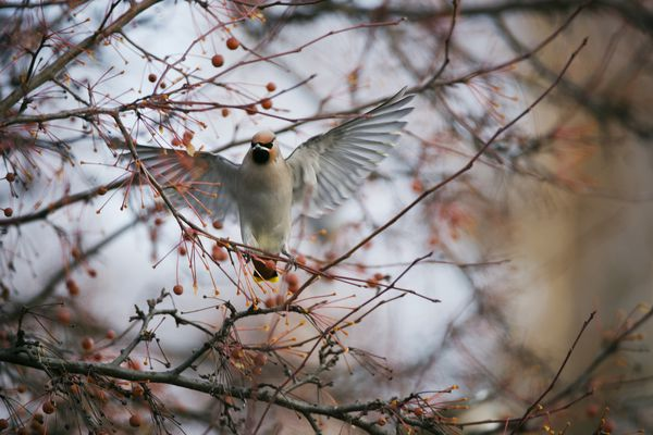 A Bohemian waxwing descends on a tree in a residential Midtown Anchorage neighborhood on November 23, 2019. (Marc Lester / Anchorage Daily News)