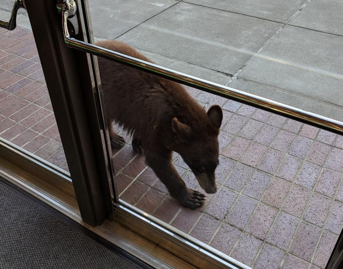 A cinnamon-colored black bear showed up at the James M. Fitzgerald U.S. Courthouse and Federal Building, near the corner of West Seventh Avenue and C Street, Tuesday afternoon. (Photo courtesy Nate Eckstein)