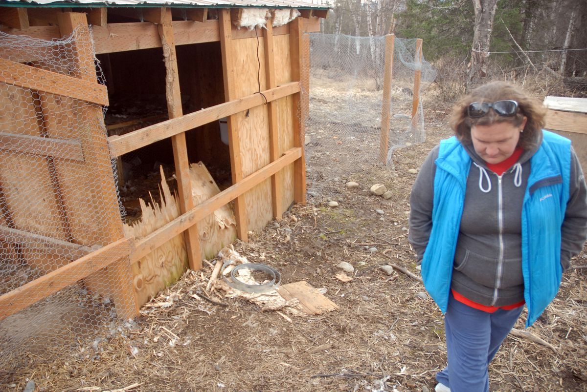 Chugiak's Relena Myers walks past her damaged chicken coop on Wednesday. Myers said a group of bears broke into the coop Tuesday, killing 22 chickens, as well as a goat kept nearby. (Photo by Matt Tunseth)