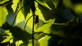 Five myths about periodic cicada emergence
