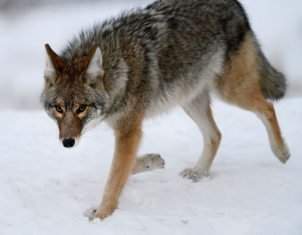 A coyote walks along the road near Point Woronzof on Tuesday morning. (Marc Lester / ADN)