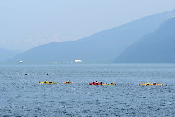 Kenai Fjords Wilderness Lodge guests view passing orcas while paddling with Sunny Cove Sea Kayaking at Fox Island on June 16, 2015, in Resurrection Bay. (Erik Hill / ADN archive 2015)