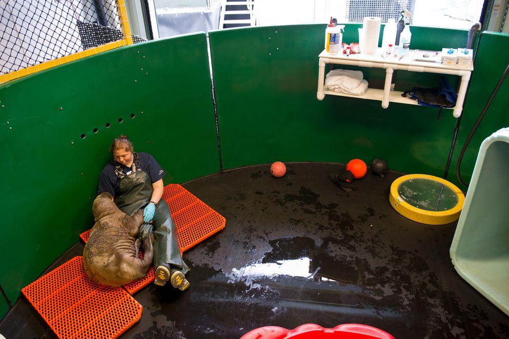 Thewalrus calf leans against Alaska SeaLife Center animal care specialist Katy Valentine on June 30. (Marc Lester / Alaska Dispatch News)