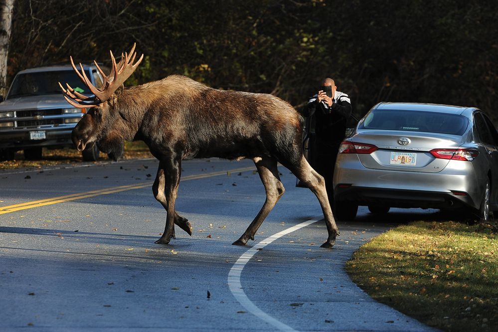 A bull moose crosses Raspberry Road in Kincaid Park as a driver photographs it in Anchorage on Wednesday, Oct 10, 2018. (Bob Hallinen / ADN)