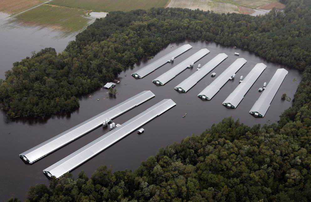 Chicken farm buildings are inundated with floodwater from Hurricane Florence near Trenton, N.C., Sunday, Sept. 16, 2018. (AP Photo/Steve Helber)