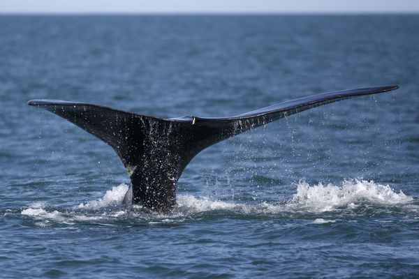 In this Wednesday March 28, 2018 photo, a North Atlantic right whale feeds on the surface of Cape Cod bay off the coast of Plymouth, Mass. North Atlantic right whales are facing the threat of extinction within a generation, and the movement to preserve them is trying to come up with new solutions. (AP Photo/Michael Dwyer)