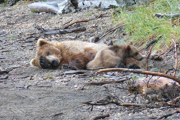 Two brown bears, a sow and a cub, take a nap on the beach near Brooks Camp in Katmai National Park. (Photo by Scott McMurren)