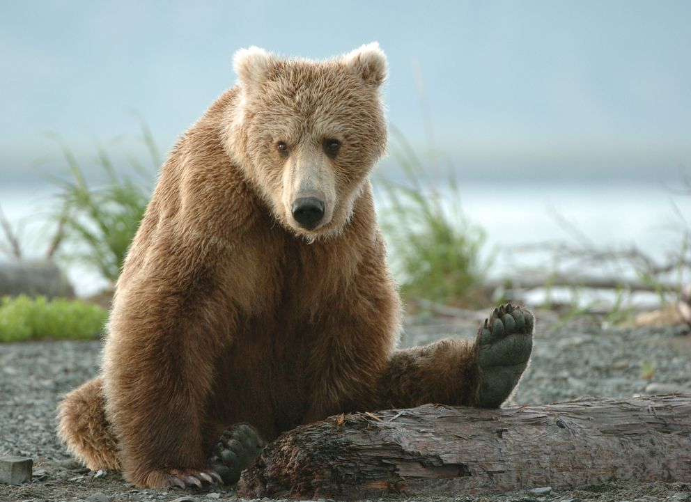 A young female brown bear sits on the beach in front of the campsite at the McNeil River State Game Sanctuary on the Alaska Peninsula. (Bob Hallinen / ADN archive 2006)