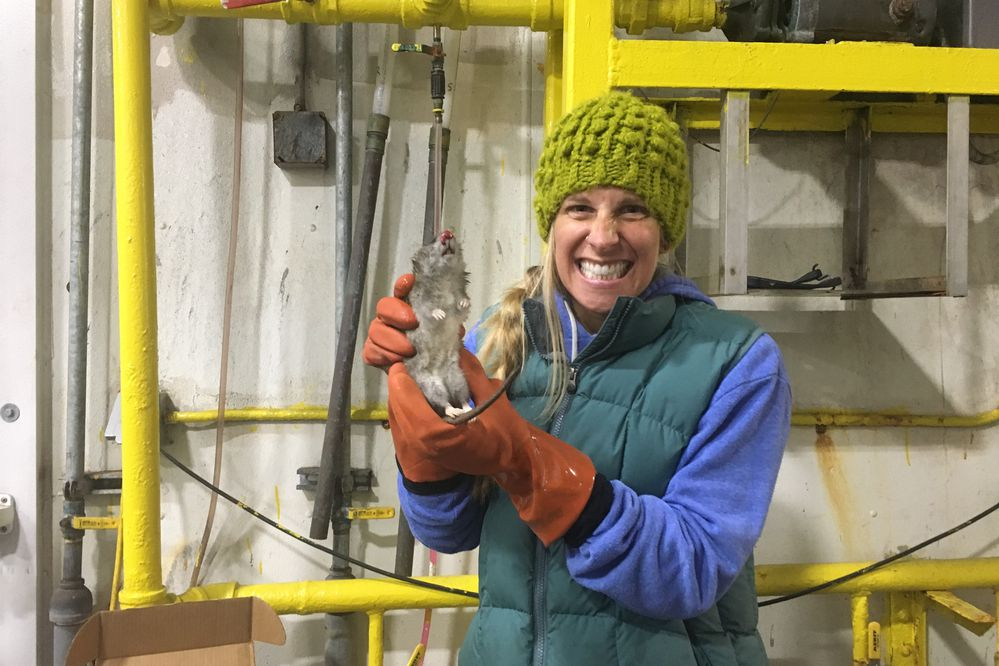 Lauren Divine of the Ecosystem Conservation Office of Aleut Community of St. Paul holds a dead rat found on St. Paul Island after an intensive 10-month search. (Photo by Jessica Tran / Ecosystem Conservation Office)