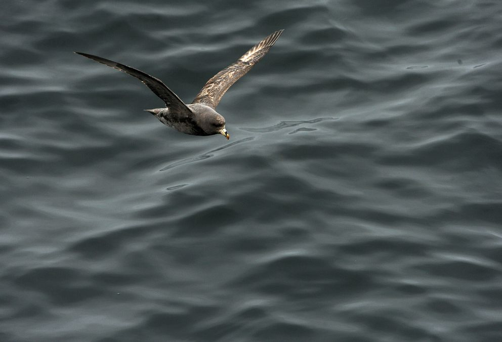 A northern fulmar flies just above the water as the U.S. Fish and Wildlife Service research boat Tiglax travels among the Aleutian Islands on June 5, 2015. Scientists on the Tiglax conduct research in the Alaska Maritime National Wildlife Refuge. (Bob Hallinen / Alaska Dispatch News)