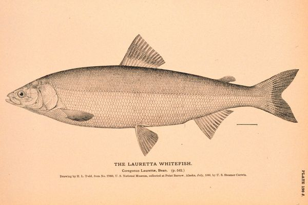 A drawing of a Bering cisco, also known as a Lauretta whitefish, created by H.L. Todd in July 1880. (Public domain image from the Natural History of Useful Aquatic Animals / NOAA photo library)